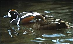 Harlequin ducks benefit from habitat acquisitions through the program