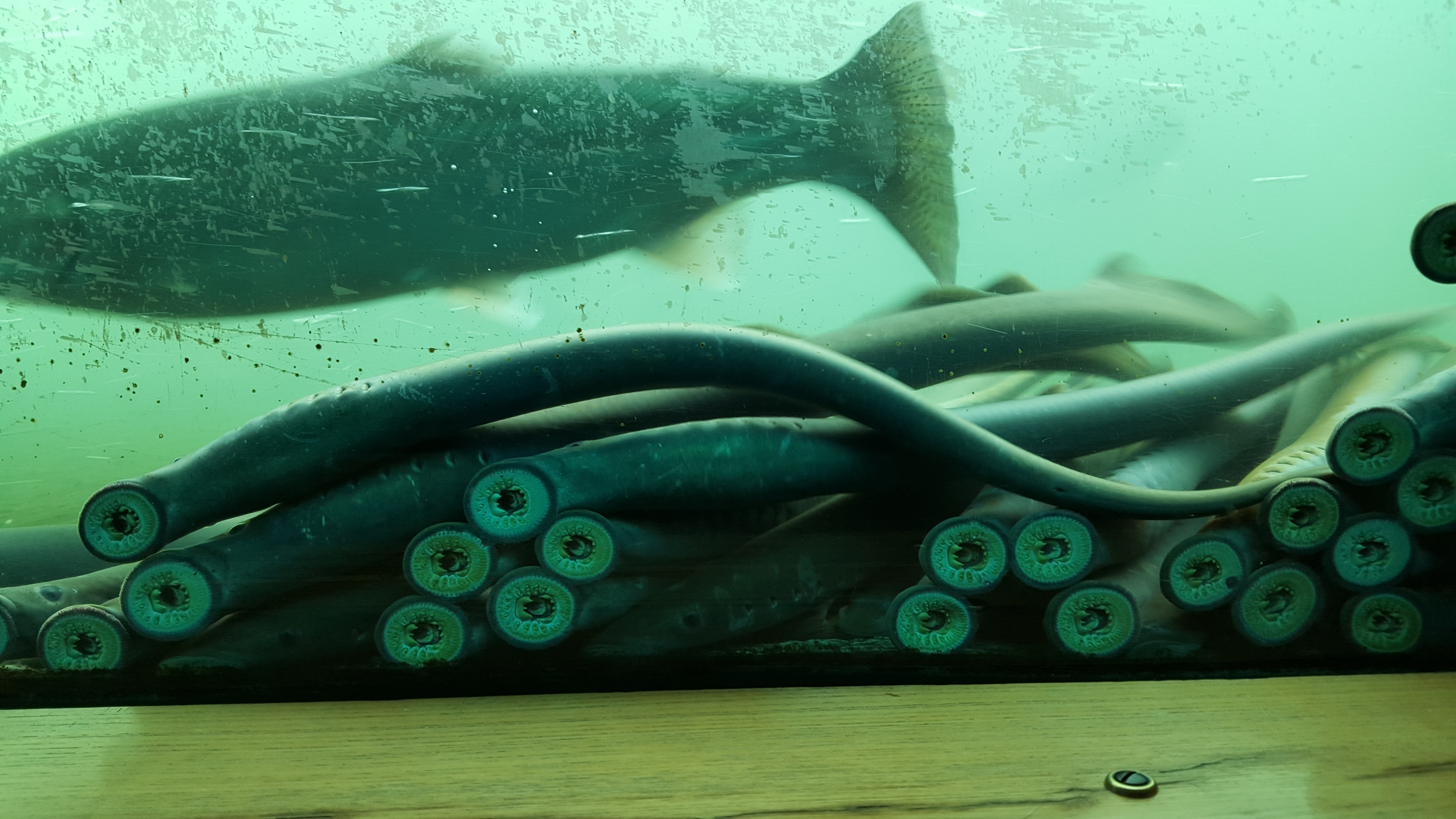 lamprey-on-bon-fish-ladder-window_3.jpg