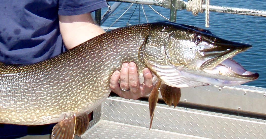 Catch and Kill: Trying to Reduce Northern Pike in Lake