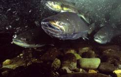 The goal of the program for salmon and steelhead is to increase the number of fish that spawn in the wild