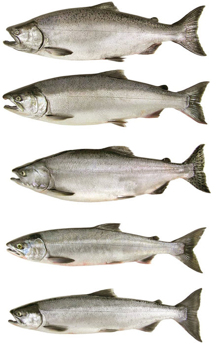 Salmon identification chart car interior design for Alaska fish species