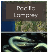 Click to view Pacific lamprey objectives