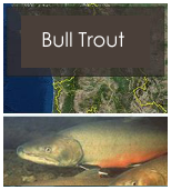 Click to view bull trout objectives
