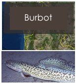 Click to view burbot objectives