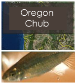 Click to view Oregon chub objectives