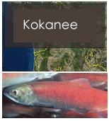 Click to view kokanee objectives