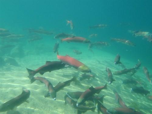 Sockeye Underwater At Redfish Lake